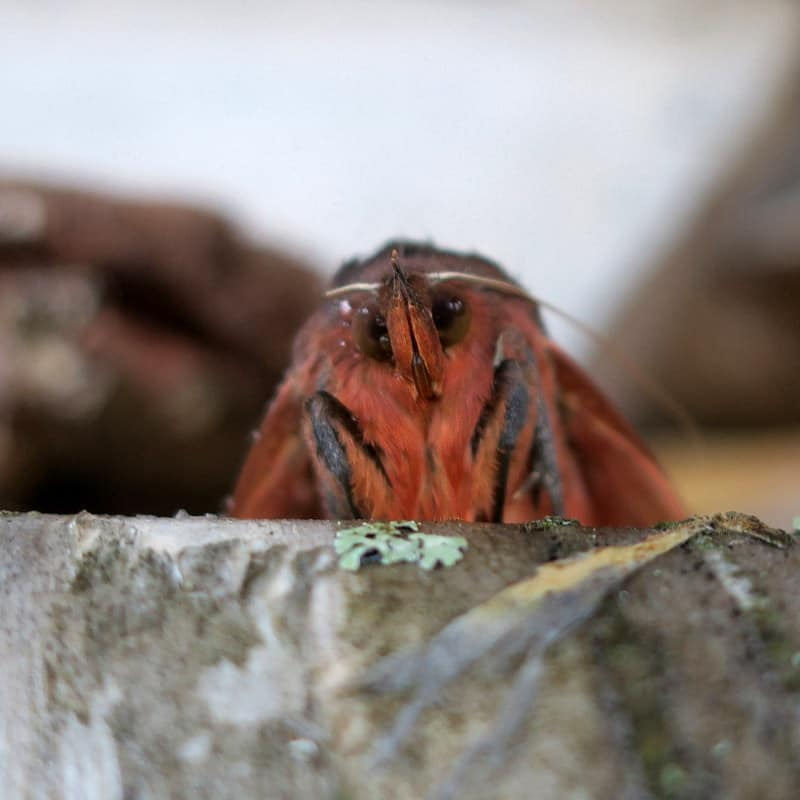 While hiking I found this moth (with a very bird-like face). It was in a dormant state due to the quick drop in temps. I found him a cozy home in Nappa-san's wood pile. I hope he made it!