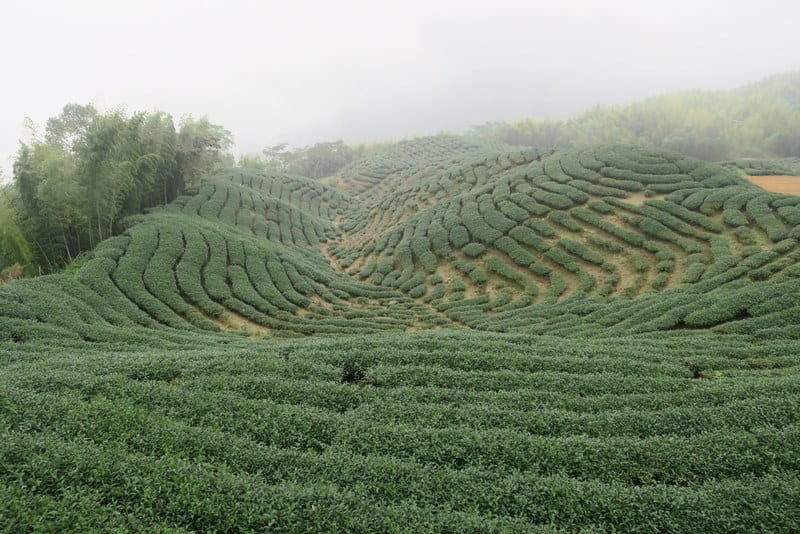 Fields of Oolong